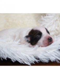 Return Puppy To Breeder Contract Template Word